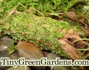 tree-moss