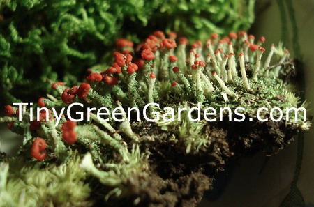british-solider-lichen-1