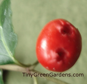 partridgeberry-berry