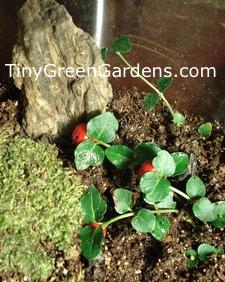 partridgeberry-terrarium