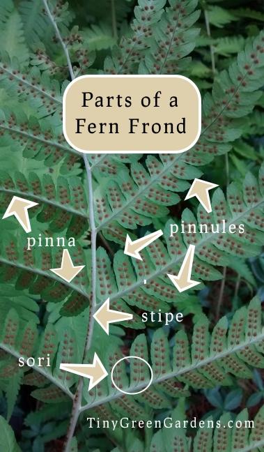 fern-parts